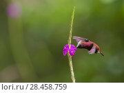 Купить «Snowcap hummingbird (Microchera albocoronata)  visiting Porterweed (Stachytarpheta sp), Braulio Carrillo National Park,  Talamancan montane forest, Costa Rica. Endemic species.», фото № 28458759, снято 17 июля 2019 г. (c) Nature Picture Library / Фотобанк Лори