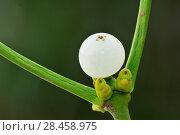 Купить «Mistletoe (Viscum album) close-up of berries, England, December.», фото № 28458975, снято 22 июля 2018 г. (c) Nature Picture Library / Фотобанк Лори