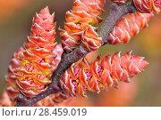 Купить «Bog Myrtle (Myrica gale) close-up of flower, Isle of Islay, Inner Hebrides, Scotland, April.», фото № 28459019, снято 14 августа 2018 г. (c) Nature Picture Library / Фотобанк Лори