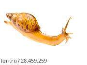 Купить «Snail (Euglandina sp.) on white background,  Peru», фото № 28459259, снято 20 сентября 2018 г. (c) Nature Picture Library / Фотобанк Лори