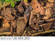 Купить «Peruvian horned frog (Ceratophrys cornuta) camouflaged in leaf litter, Peru», фото № 28459283, снято 23 июля 2018 г. (c) Nature Picture Library / Фотобанк Лори