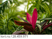 Купить «Blurry tropical floral background with purple cordyline leaves in the foreground», фото № 28459971, снято 19 мая 2018 г. (c) Евгений Харитонов / Фотобанк Лори