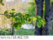 Купить «Ветка осины обыкновенной (Populus tremula, Тополь дрожащий)», фото № 28462135, снято 8 мая 2018 г. (c) Алёшина Оксана / Фотобанк Лори