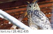 Купить «Eurasian eagle-owl (Bubo bubo)», видеоролик № 28462435, снято 27 января 2018 г. (c) BestPhotoStudio / Фотобанк Лори