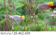 Купить «golden pheasant (Chrysolophus pictus)», видеоролик № 28462439, снято 7 мая 2018 г. (c) BestPhotoStudio / Фотобанк Лори