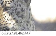 Купить «leopard (Panthera pardus) in genus Panthera», видеоролик № 28462447, снято 19 февраля 2018 г. (c) BestPhotoStudio / Фотобанк Лори