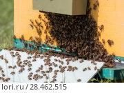Купить «Пчелы возвращаются с медом в улей», фото № 28462515, снято 8 июля 2017 г. (c) Василий Князев / Фотобанк Лори