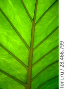 Floral background - surface of a wide green leaf of a tropical plant with natural veins. Стоковое фото, фотограф Евгений Харитонов / Фотобанк Лори