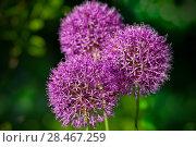 Купить «Декоративный лук Аллиум», фото № 28467259, снято 24 мая 2018 г. (c) Татьяна Белова / Фотобанк Лори