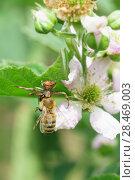 Паук-бокоход, или неравноногий бокоход, или паук-краб (лат. Thomisidae) с пойманной пчелой (лат. Anthophila) на цветке садовой крупноплодной ежевики (лат. Rubus) Стоковое фото, фотограф Наталья Гармашева / Фотобанк Лори