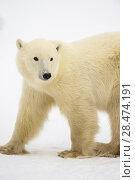 Купить «Polar Bear (Ursus maritimus) Yearling cubs with mother close by, Wapusk NP, Cape Churchill, Manitoba, Canada.», фото № 28474191, снято 24 ноября 2016 г. (c) age Fotostock / Фотобанк Лори