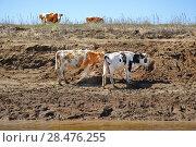 Купить «Молодые коровы у реки на водопое», эксклюзивное фото № 28476255, снято 6 апреля 2009 г. (c) Алёшина Оксана / Фотобанк Лори
