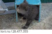 Купить «Маленький камчатский бурый медвежонок в вольере зоопарка», видеоролик № 28477355, снято 29 мая 2018 г. (c) А. А. Пирагис / Фотобанк Лори