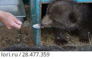 Купить «Маленький камчатский бурый медведь ест с ложки молочную кашу», видеоролик № 28477359, снято 29 мая 2018 г. (c) А. А. Пирагис / Фотобанк Лори