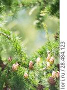 Купить «Young larch cone, larch tree», фото № 28484123, снято 14 июля 2013 г. (c) Ingram Publishing / Фотобанк Лори