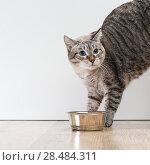 Portrait of an aggressive scared striped cat pet. Стоковое фото, фотограф Kirill Kedrinskiy / Ingram Publishing / Фотобанк Лори