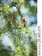 Купить «Young larch cone, larch tree», фото № 28485075, снято 14 июля 2013 г. (c) Ingram Publishing / Фотобанк Лори
