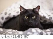 Купить «Lazy big black cat laying on bed», фото № 28485187, снято 23 июня 2013 г. (c) Ingram Publishing / Фотобанк Лори