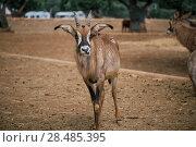 Купить «Mountain goat in Fasano apulia safari zoo Italy», фото № 28485395, снято 17 мая 2018 г. (c) Aleksejs Bergmanis / Фотобанк Лори