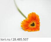 Купить «Heart from orange daisy-gerbera on white table», фото № 28485507, снято 31 марта 2013 г. (c) Ingram Publishing / Фотобанк Лори