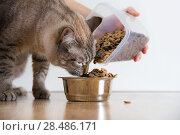 Young cat eating at home from its bowl. Female hand adding food. Стоковое фото, фотограф Kirill Kedrinskiy / Ingram Publishing / Фотобанк Лори