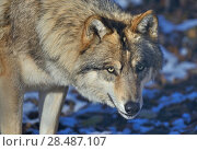 Купить «North-western wolf (Canis lupus occidentalis) portrait, captive occurs in  northwestern USA and Canada.», фото № 28487107, снято 22 августа 2018 г. (c) Nature Picture Library / Фотобанк Лори