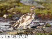 Купить «Rock Ptarmigan (Lagopus muta) moulting feathers, Spitsbergen, Svalbard, Norway, Arctic Ocean», фото № 28487127, снято 19 августа 2018 г. (c) Nature Picture Library / Фотобанк Лори