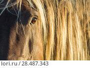 Купить «Rocky mountain horse close up of head and mane, Bozeman, Montana, USA. June.», фото № 28487343, снято 17 июля 2018 г. (c) Nature Picture Library / Фотобанк Лори