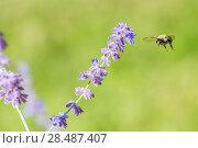 Купить «Eastern bumblebee (Bombus impatiens) flying to  Russian sage (Perovskia atriplicifolia), Wisconsin, USA, August.», фото № 28487407, снято 19 июня 2018 г. (c) Nature Picture Library / Фотобанк Лори