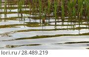 Купить «Riparian reeds with waves coming in», видеоролик № 28489219, снято 18 сентября 2017 г. (c) BestPhotoStudio / Фотобанк Лори