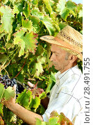 Купить «Senior worker cuts grape twigs», фото № 28491755, снято 27 августа 2012 г. (c) Ingram Publishing / Фотобанк Лори