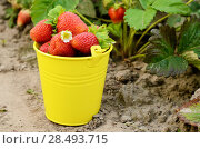Купить «Yellow bucket fool of organic strawberries on garden bed», фото № 28493715, снято 22 июня 2018 г. (c) Ingram Publishing / Фотобанк Лори