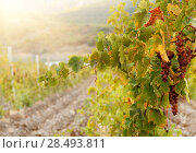 Купить «Bunch of green muscat grapes on vine at sunset time», фото № 28493811, снято 22 апреля 2019 г. (c) Ingram Publishing / Фотобанк Лори