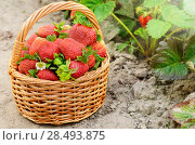 Купить «Wicker basket fool of organic strawberries on garden-bed», фото № 28493875, снято 22 июня 2018 г. (c) Ingram Publishing / Фотобанк Лори