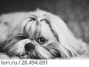 Купить «Shih tzu dog black and white portrait», фото № 28494691, снято 21 августа 2013 г. (c) Ingram Publishing / Фотобанк Лори