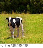 Купить «Menorca Friesian cow grazing in green meadow at Balearic Islands of Spain», фото № 28495499, снято 25 мая 2013 г. (c) Ingram Publishing / Фотобанк Лори