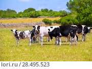 Купить «Menorca Friesian cow cattle grazing in green meadow at Balearic Islands of Spain», фото № 28495523, снято 25 мая 2013 г. (c) Ingram Publishing / Фотобанк Лори