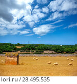 Купить «Menorca sheep flock grazing in golden dried meadow at Balearic Islands», фото № 28495535, снято 25 мая 2013 г. (c) Ingram Publishing / Фотобанк Лори