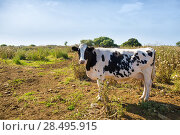 Купить «Menorca friesian cow grazing near Ciutadella Balearic Islands cattle», фото № 28495915, снято 25 мая 2013 г. (c) Ingram Publishing / Фотобанк Лори