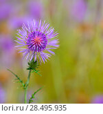 Купить «Menorca spring thistle purple flowers in Balearic islands», фото № 28495935, снято 27 мая 2013 г. (c) Ingram Publishing / Фотобанк Лори