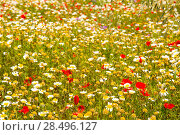 Купить «Menorca spring field with poppies and daisy flowers in Balearic Islands», фото № 28496127, снято 30 мая 2013 г. (c) Ingram Publishing / Фотобанк Лори
