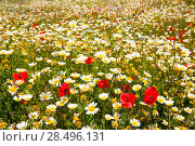 Купить «Menorca spring field with poppies and daisy flowers in Balearic Islands», фото № 28496131, снято 30 мая 2013 г. (c) Ingram Publishing / Фотобанк Лори