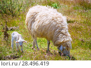 Купить «Mother sheep and baby lamb grazing in Menorca field», фото № 28496419, снято 25 мая 2013 г. (c) Ingram Publishing / Фотобанк Лори