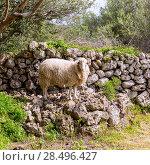 Купить «Lamb sheep in mediterranean landscape at Menorca Balearic islands», фото № 28496427, снято 31 мая 2013 г. (c) Ingram Publishing / Фотобанк Лори
