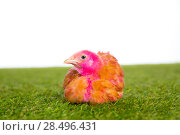 Купить «Chicken chick hen pink painted on turf grass and white background», фото № 28496431, снято 9 октября 2013 г. (c) Ingram Publishing / Фотобанк Лори
