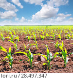 Купить «Corn fields sprouts in rows in California agriculture plantation USA», фото № 28497347, снято 19 апреля 2013 г. (c) Ingram Publishing / Фотобанк Лори