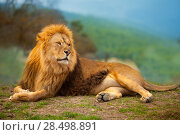 Купить «Lion male having a rest lying on the mountain top», фото № 28498891, снято 9 октября 2007 г. (c) Ingram Publishing / Фотобанк Лори