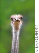 Купить «Ostrich bird head and neck front portrait in the park», фото № 28499011, снято 8 октября 2007 г. (c) Ingram Publishing / Фотобанк Лори