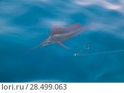 Купить «Sailfish sportfishing close to the boat with fishing line under surface», фото № 28499063, снято 24 июля 2006 г. (c) Ingram Publishing / Фотобанк Лори