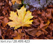 Купить «Autum alamo yellow leaf in a beech fall forest in Pyrenees Ordesa Valley spain», фото № 28499423, снято 2 ноября 2013 г. (c) Ingram Publishing / Фотобанк Лори